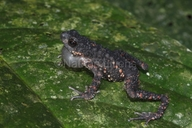 Spiny Dwarf Toad