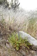 Horkelia yadonii