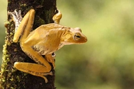Ranwella's Spined Tree Frog (english)