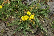 Camissonia sp.
