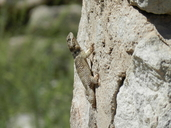 "An adult Sceloporus poinsettii with missing tail on rock wall.<br /><strong>Location:</strong> Hueco Tanks State Park (El Paso, Texas, US)<br /><strong>Author:</strong> <a href=""http://calphotos.berkeley.edu/cgi/photographer_query?where-name_full=Vicente+Mata-Silva&one=T"">Vicente Mata-Silva</a>"