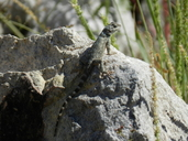 "A juvenile Sceloporus poinsettii on rock.<br /><strong>Location:</strong> Hueco Tanks State Park (El Paso, Texas, US)<br /><strong>Author:</strong> <a href=""http://calphotos.berkeley.edu/cgi/photographer_query?where-name_full=Vicente+Mata-Silva&one=T"">Vicente Mata-Silva</a>"