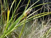 Carex lyngbyei