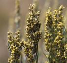 Artemisia cana ssp. bolanderi