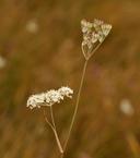 Perideridia lemmonii
