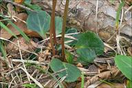 Pyrola chlorantha