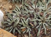 Townsendia leptotes