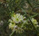 Koeberlinia spinosa var. tenuispina