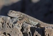 Sceloporus graciosus gracilis