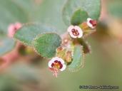 Chamaesyce arizonica