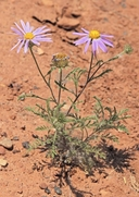 Machaeranthera tanacetifolia