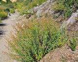 Keckiella lemmonii