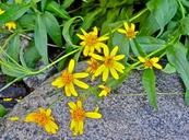 Arnica longifolia
