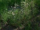 Erigeron speciosus var. macranthus
