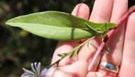 Symphyotrichum foliaceum var. canbyi