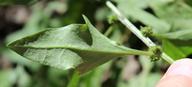 Chenopodium capitatum var. parvicapitatum
