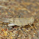 Occidental Grasshopper