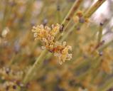 Ephedra nevadensis