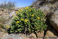 Ericameria cuneata var. macrocephala