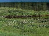 Eriophorum sp.
