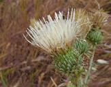 Cirsium cymosum var. cymosum