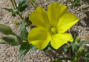 Mentzelia eremophila