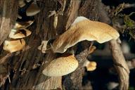 Crepidotus mollis var. calolepsis