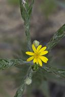 Pityopsis graminifolia var. aequifolia