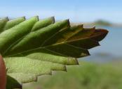 Phyla lanceolata