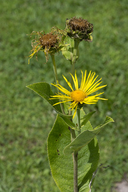 Inula helenium