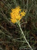 Ericameria nauseosa var. bernardina