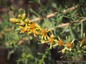 Ericameria palmeri var. pachylepis