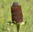Rudbeckia laciniata var. ampla