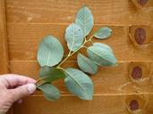 Salix caprea
