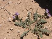 Phacelia crenulata var. corrugata