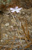 Stephanomeria exigua ssp. deanei