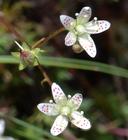 Saxifraga bronchialis ssp. austromontana
