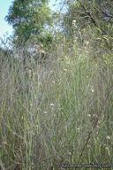 Chloracantha spinosa var. spinosa