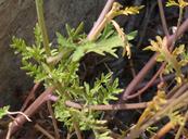 Lepidium montanum