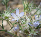Eriastrum sapphirinum ssp. dasyanthum