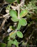 Galium hallii