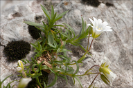Carinthian Mouse-ear Chickweed
