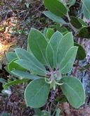 Arctostaphylos glandulosa ssp. cushingiana