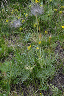 Pulsatilla patens ssp. multifida