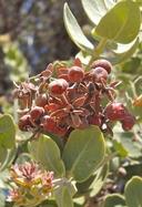 Arctostaphylos auriculata