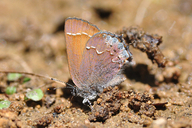 Nelson's Juniper Hairstreak