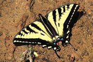 Papilio rutulus
