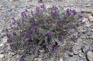Astragalus lentiginosus var. fremontii