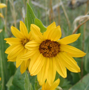 Wyethia arizonica