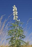 Lupinus argenteus var. argenteus
